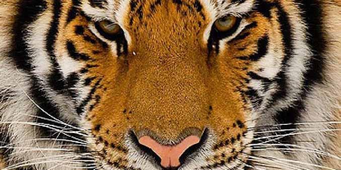 Взгляд настоящего Тигра