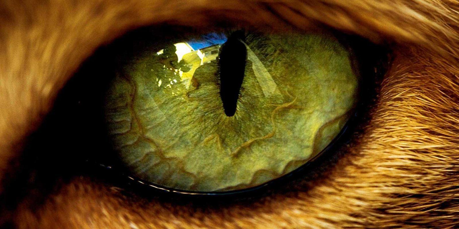 Глаз тигра